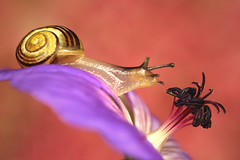 Snail on purple geranium (Benjaminio) Tags: snail flwer flower petal plant garden macro closeup nature wildlife purple