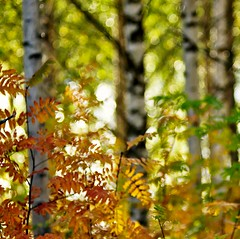 Autumn in the birch forest square version (Stefano Rugolo) Tags: stefanorugolo pentax k5 pentaxk5 smcpentaxm100mmf28 ricohimaging autumninthebirchforest autumn birch forest depthoffield squarefomat bokeh colors branches trees sweden fall hälsingland abstract impression