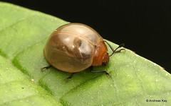Fungus beetle, Aegithus sp., Erotylidae (Ecuador Megadiverso) Tags: aegithussp andreaskay beetle coleoptera ecuador erotylidae fungusbeetle mindo