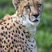 Another cheetah portrait