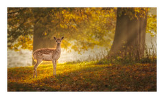 Into the Light (Vemsteroo) Tags: deer morning sunrise wildlife mist fog dawn autumn fall autumnal canon 5d mkiv light rays sunshine forest woodland nature atmospheric ethereal outdoors