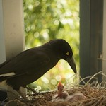Light in the Currawong nest thumbnail