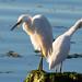 2 Snowy Egrets