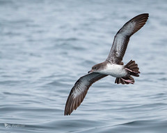 Pink-Footed Shearwater (FireBirder) Tags: bird sea ocean blue water nature natural pelagic shearwater oregon canon