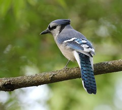 King of the Back Yard Jungle (Slow Turning) Tags: cyanocittacristata bluejay bird perched tree branch stick autumn fall southernontario canada