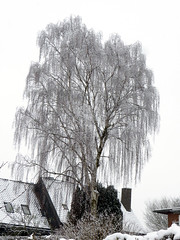 Silver birch in snow (cats_in_blue) Tags: silverbirch betulapendula hængebirk birk birketræ winter snow