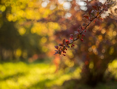 Barberry (alpatovroma) Tags: autumn barberry bokeh bokehlicious buble sony m42 manuallens sonya7m2 nature botanical belarus
