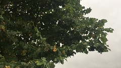Field elm - leaves - October 2018 (Exeter Trees UK) Tags: field elm leaves october 2018