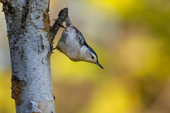 White-breasted Nuthatch-48819.jpg (Mully410 * Images) Tags: birdwatching birding whitebreastednuthatch birch backyard bird birds autumn fallcolors birder nuthatch