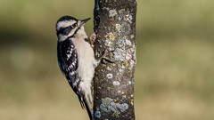 IMG_9951 (brian.a.stamper) Tags: animal bird downywoodpecker dryobatespubescens stlouis missouri unitedstates us