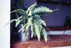 img308 (Gaelle Monin) Tags: kodakportra400 leicar62 leitzelmarit35mm fern homedevelopment plant