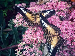 Cozy Companions 0)(0 0)(0 (Ellery Images) Tags: insects elleryimages cozy companions warm summer greenhouse garden flowers butterflies