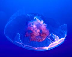 Jellyfish, Monterey Aquarium, California (szeke) Tags: jellyfish medusa aquarium underwater monterey