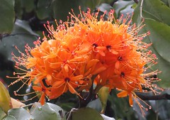 Sorrowless flowers (Saraca dives), Hanoi, Vietnam, Feb 2018 (Judith B. Gandy (on and off, off and on)) Tags: flowers saraca cities hanoi trees vietnam orangeflowers saracadives sorrowlessflowers