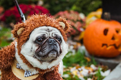 Halloween Dog (valan90) Tags: halloween costume dog pug pumpkin
