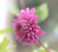 Fading Dahlia (photofitzp) Tags: blur dahlia flowers garden softlight colours