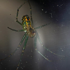 20180704_103250_spider (Goshzilla - Dann) Tags: bugs spiders arachtober leucaugevenusta leucauge orchardorbweaver orbweaver arachnid arthropod