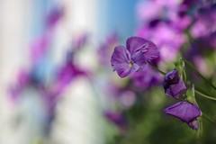Pansies (haberlea) Tags: garden mygarden pansies flowers nature purple