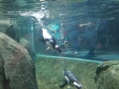 2018-09-30 10.45.48 (littlereview) Tags: carolinas littlereview 2018 travel museum animal penguin aquarium blog
