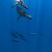 DSC07619 - humpbacks and pilot whales
