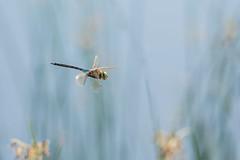 Lesser emperor in flight (jrosvic) Tags: nikon aeshnidae inflight freehand macro entomology anisoptera odonata libélula dragonfly
