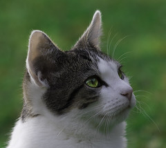 """""""Onion"""" looking up at the birds (To see a World in a Grain of Sand And a Heaven in ) Tags: nikond500 cat feline greeneyes ireland animal kitten bokeh samyang135mmf2"""