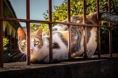 (Steh Monteiro) Tags: cat kitty gato gatinho peludo furry fofo cute big eyes yellow animal de estimação grade nature natureza lindo nikond3300 nikon d3300 36mm