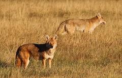 Coyotes (Circled Thrice) Tags: coyote mammal wild wildlife nature natural prairie grassland meadow rma rockymountainarsenal nationalwildliferefuge nwr refuge commercecity aurora denver colorado co canon eos rebel t5i 300mm