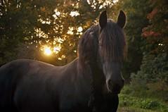 Dark Horse (FlorDeOro) Tags: nikond90 photography nature animal horse sunset bokeh evening colorful autumn friesianhorse sweden gotland glow mijarajc