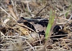 Касарги 3777 Rana. (elgatoavc) Tags: 2018 челябинскаяобласть урал касарги животное лягушка