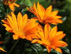 (bugman11) Tags: flower flowers flora canon nature nederland thenetherlands haarlem petals macro orange 100mm28lmacro