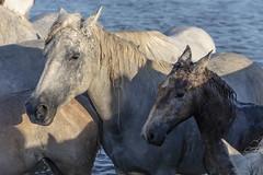 Après la trempette (Xtian du Gard) Tags: xtiandugard camargue provence chevaux jument poulain portraitsanimaliers animaux france