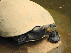 Tortuga charapa (Oscar Padilla Álvarez) Tags: ecuador