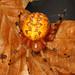 Marbled Orbweaver - Araneus marmoreus, Woodbridge, Virginia