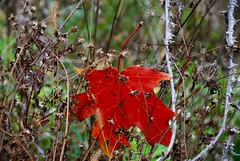 October's Unintended Trap (Haytham M.) Tags: growth dry outdoors outdoor texture details thorns canada ontario october autumn fall maple leaf