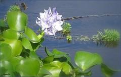 Water hyacinth .... Jacinthe d'eau (Armelle85) Tags: extérieur nature fleur flore eau lagune jacinthedeau macro feuillage
