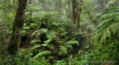 Mist Ferns Panorama (Panorama Paul) Tags: paulbruinsphotography wwwpaulbruinscoza southafrica southerncape gardenroute knysnaforest ferns indigenousforests nikond800 nikkorlenses nikfilters panorama