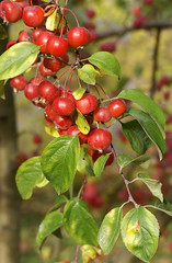 Apfel, Zier- Evereste / ornamental crabapple (Malus Evereste) (HEN-Magonza) Tags: botanischergartenmainz mainzbotanicalgardens herbst autumn flora rheinlandpfalz rhinelandpalatinate deutschland germany apfel zierapfelevereste ornamentalcrabapple malusevereste