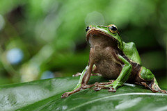 2J4A8085 (ajstone2548) Tags: 12月 樹蛙科 兩棲類 翡翠樹蛙