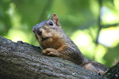 Squirrels in Ann Arbor at the University of Michigan - September 23rd, 2018 (cseeman) Tags: gobluesquirrels squirrels annarbor michigan animal campus universityofmichigan umsquirrels09232018 fall autumn eating peanut septemberumsquirrel foxsquirrels easternfoxsquirrels michiganfoxsquirrels universityofmichiganfoxsquirrels