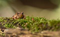Im Moor (kraichgau-natur-photo) Tags: rana dalmatina frosch springfrosch moor