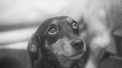 Bea (rischefantorus) Tags: bea dog dogs cane perro hund eyes littledoglaughednoiret revuenon f14