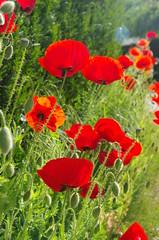 JLF15071 (jlfaurie) Tags: primavera printemps fleurs flores jardin casa home rosado pink cherry amapola poppies poppy cerisier fleur spring mechas mpmdf jlfr jlfaurie lumix cerezo