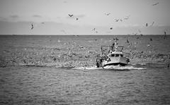 Free food (ericbeaume) Tags: nikon d5500 nb noirblanc naturallight noiretblanc monochrome sea seascape ocean océan waves boat bâteau birds oiseaux sky ciel eau water ericbeaume