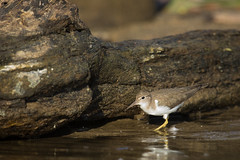 Spotted Sandpiper, Eagle Creek Park, October 1, 2018. (Ryan J Sanderson) Tags: ryan sanderson canon 5d mark iv 5div 5d4 600 f4 is l ii 14x tc iii eagle creek park marion county indianapolis indiana october 1 2018 kayak unitedstates us spottedsandpiper eaglecreekpark october1