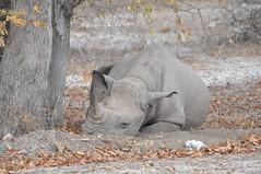 DSC_0525 (j1mdevl1n) Tags: namibia etoshanationalpark blackrhinoceros