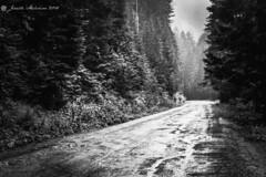 Dreary Road (jenelle.melchior) Tags: black white monochrome landscape road forest park rainier wild dirt fog washington nature