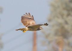 Buzzard (badger2028) Tags: buzzard buteo flight flying raptor