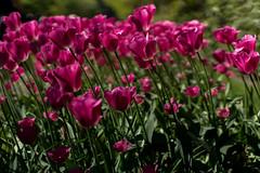DSC09490 (gael.lebrun56) Tags: fleur colza rape beez flower macro insect lisse zuidholland paysbas nl
