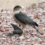 Sharp-shinned Hawk lunchtime thumbnail